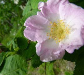 wild-rose-flower-nature-bloom-wild-flower-blossom