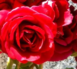 Rose rouge du Pouget-1